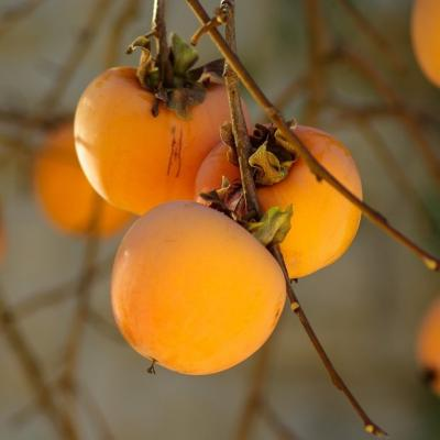 Know Your Food: Persimmon