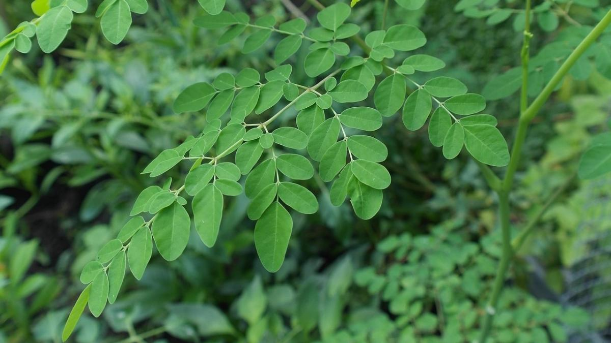 Know Your Food: Moringa
