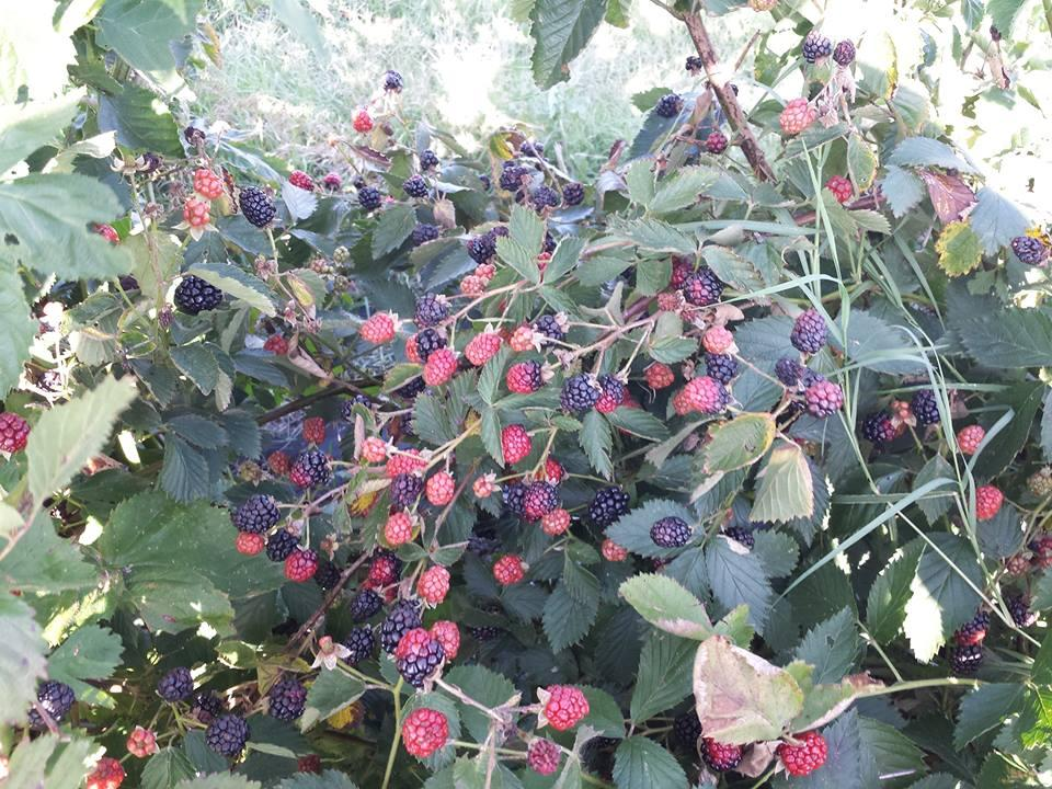 Pick Your Own Organic Blackberries