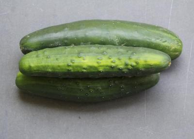 cucumber, long mild organic grown in solar grow building year round