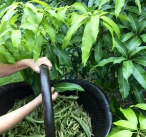 Mango Leaves Organic 30 Fresh Picked Naturally Air Dried