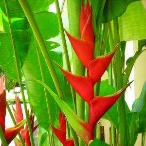 Heliconia BIG BOLD & RED ~ 1 Live Bare Root Rhizome