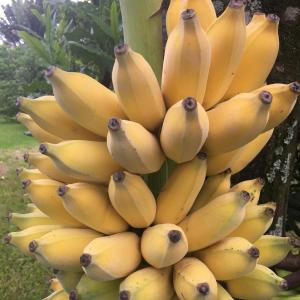 Banana's Organic 4 lbs  ~ Farm Fresh direct to You