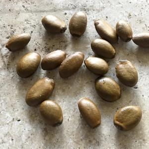 Soursop / Graviola Seeds 8 Grow your own Tropical Fruit