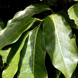 Mountain Soursop Leaves Dried 30 USA Farm Direct to You
