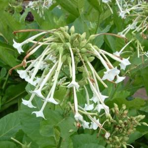 Tobacco Seeds - Nicotiana Tabacum (Virginia Tobacco). Multiple product options available: 2
