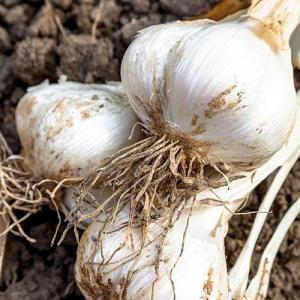 Fresh Organically Grown Garlic
