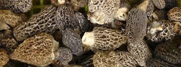 Morels, Cultivated, Organicaly Grown