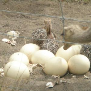 Fertilized Ostrich Eggs and Ostrich Chicks for sales