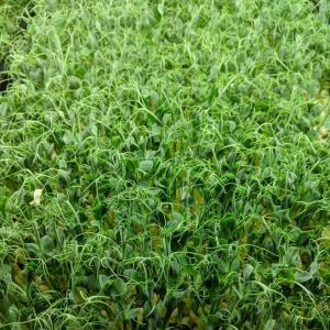 Pea Shoots (2 oz or 5 oz). Multiple product options available: 2