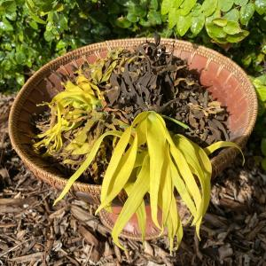 Ylang Ylang Flower Blossoms ~ Fragrant by Nature ~ Slow Dried