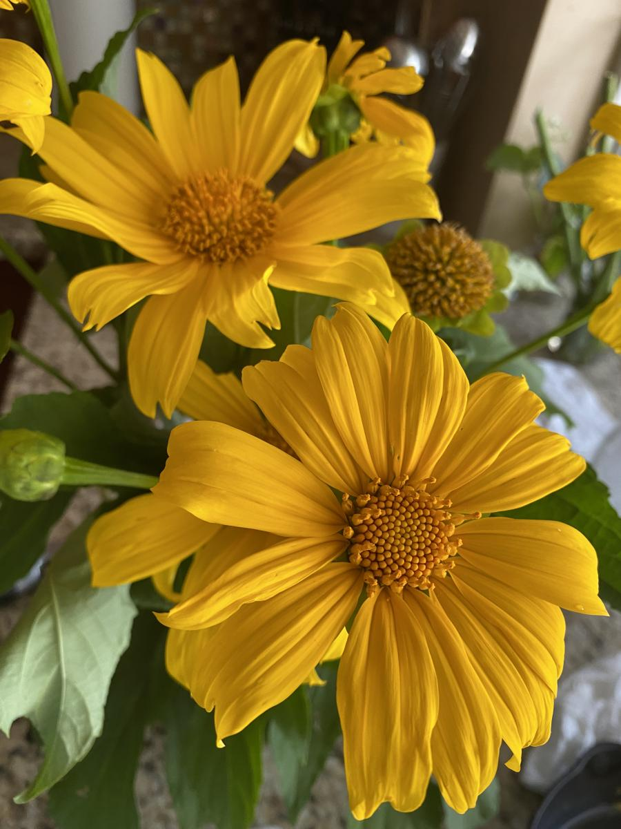 Mexican Sunflower Blossom