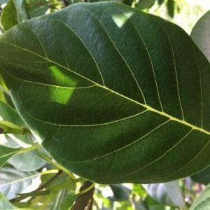 Premium Jackfruit Cowa Leaves 20 Harvested FRESH  USA Farm Direct