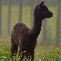 Tag Along Alpacas